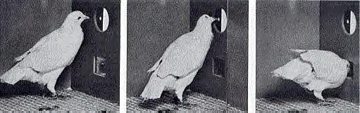 Pigeon in a Skinner box (JPG)