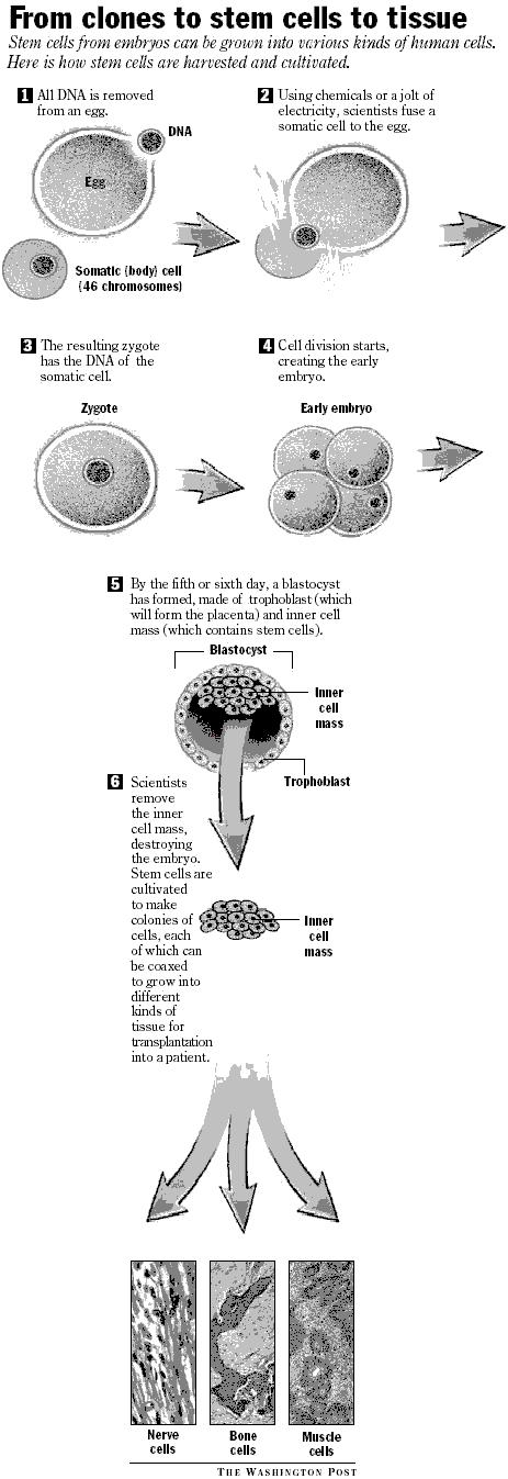 Stem cell diagram (JPG)
